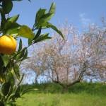 Migdał, pomarańcza