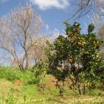 Święto Kwitnącego Migdała (Fiesta del Almendro)
