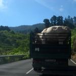 Krowy w drodze