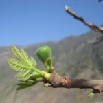 Pączek figi