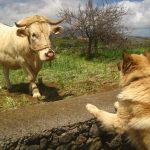 Byczek i owczarek garafiański