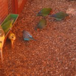 Popularne papużki