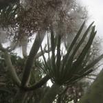 Przybrzeżna roślinność - rodzina tajinaste
