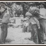 Noszenie bananów