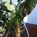 Banan przydomowy