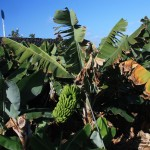 Wyspy Kanaryjskie uprawiają karłowaty gatunek bananów