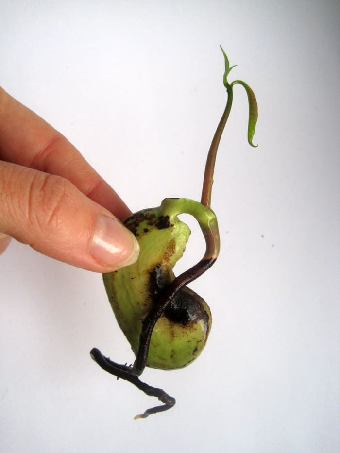 Kiełkowanie mango